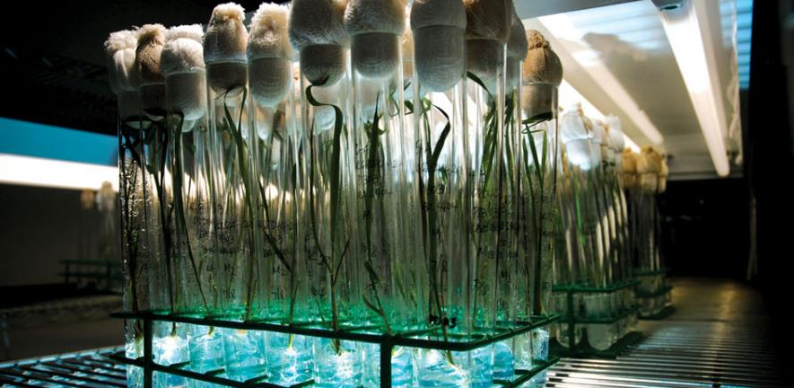 Rice plants propagated using tissue culture at the International Rice Research Institute (IRRI), Philippines