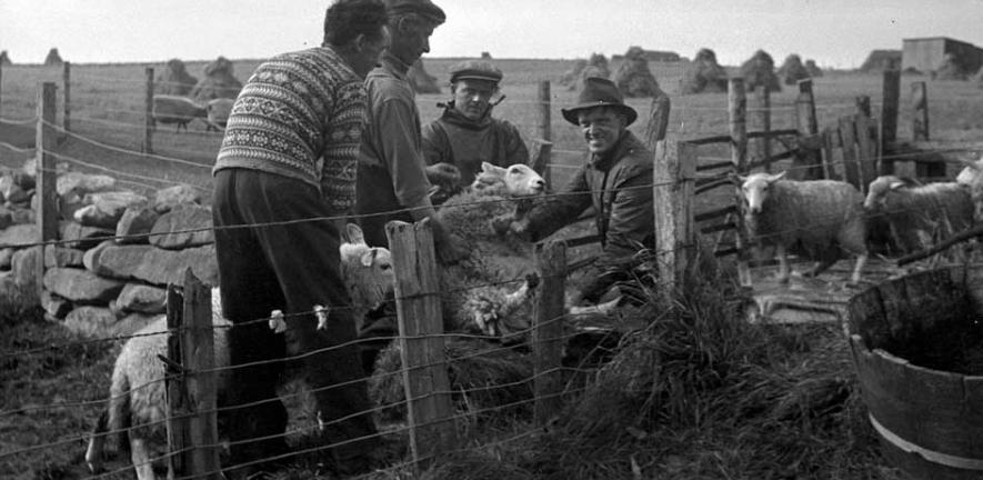 From fleece to the fibre of local identity: the man in the foreground wears a traditional Fair Isle jumper for working with sheep