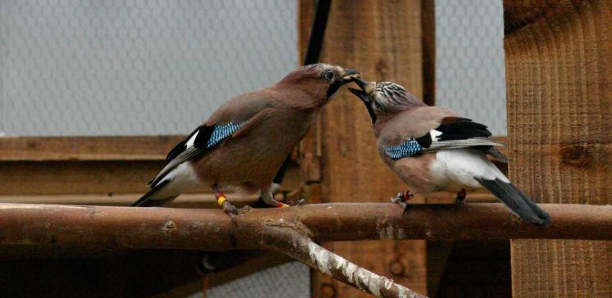 Eurasian Jay mating pair engaged in food-sharing