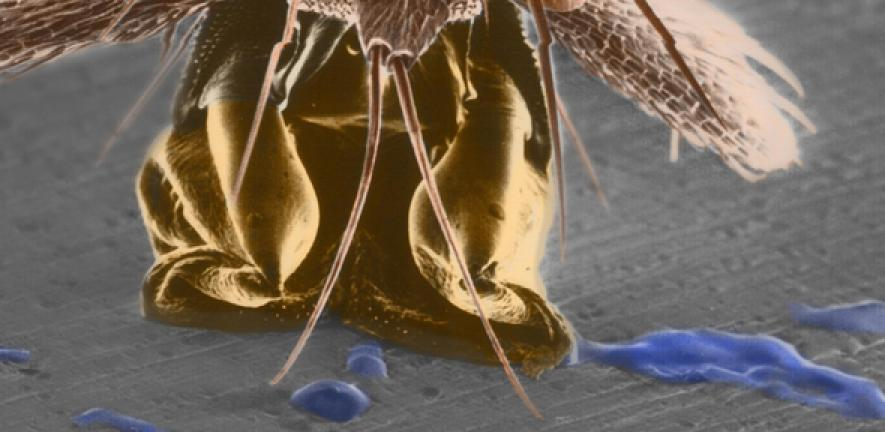 How The Stick Insect Sticks And Unsticks Itself University Of