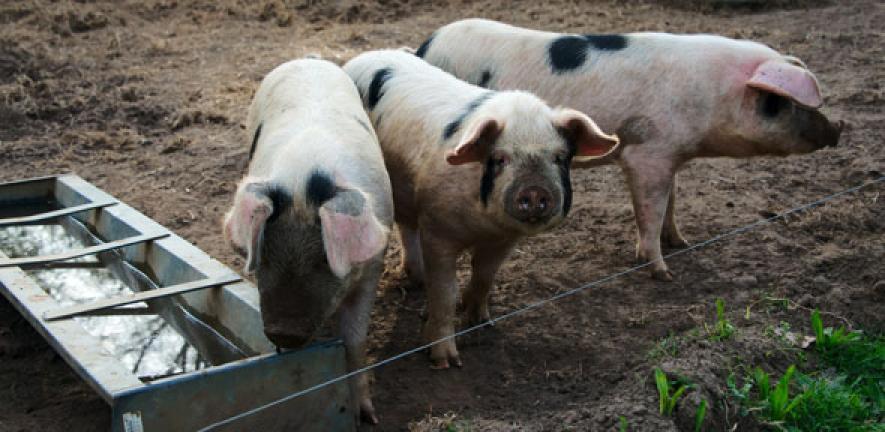 Threat Of Novel Swine Flu Viruses In Pigs And Humans University Of Cambridge