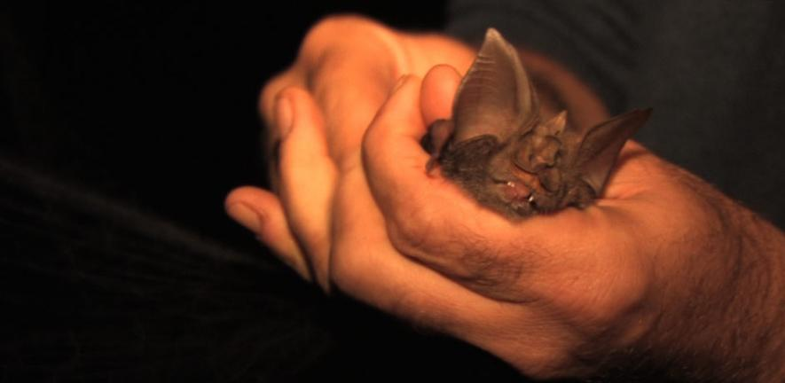 The Mount Mabu Horseshoe Bat (Rhinolophus mabuensis) as discovered by Dr Julian Bayliss, one of the four new species of African Horseshoe bat.