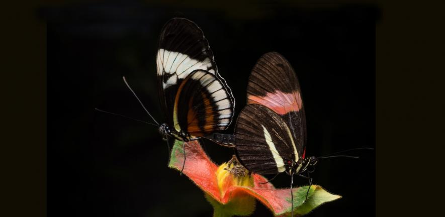 Two butterflies mating in captivity. Heliconius cydno (left) and Heliconius melpomene (right).