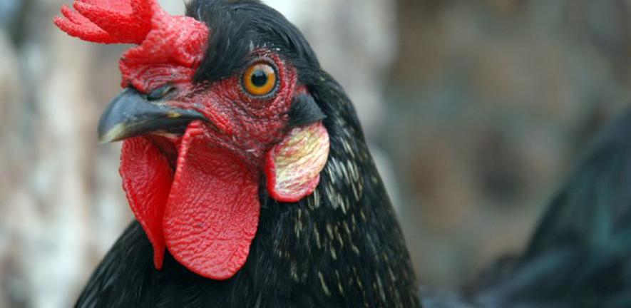 Wild Chicken of Fair Oaks Village