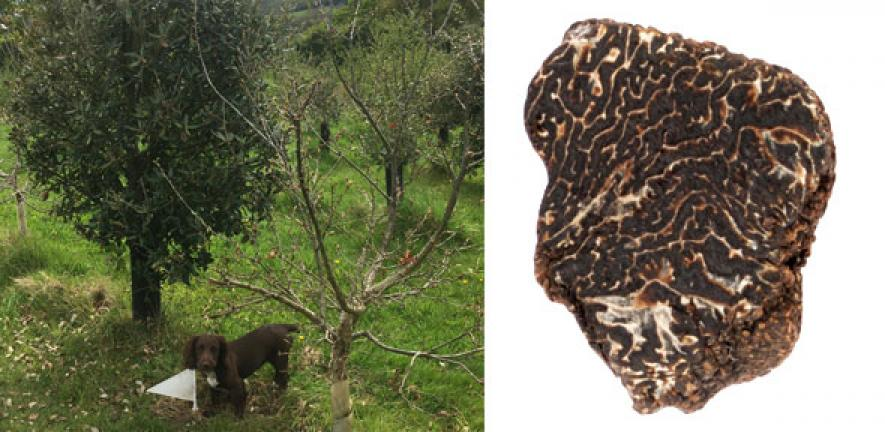 Périgord black truffle cultivated in the UK for the first