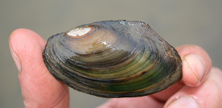 River mussel