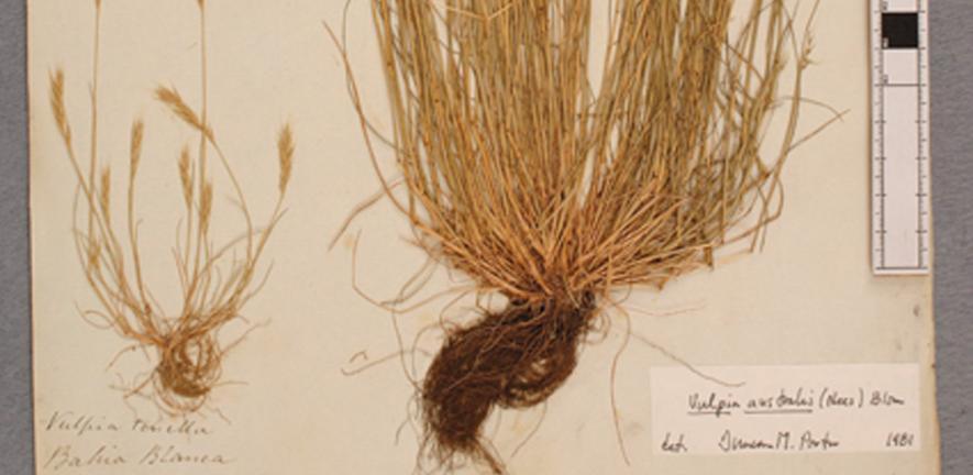 Vulpia grass