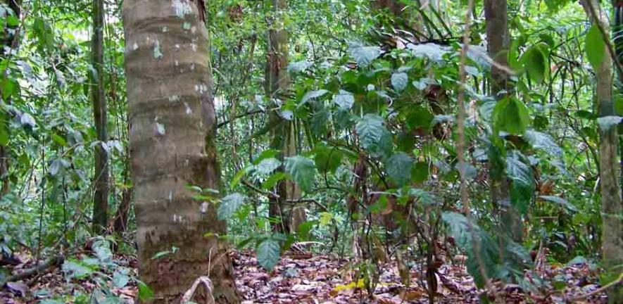'GiganteForest': A view through the undergrowth in tropical forest at the study site in Panama
