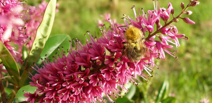 Bumblebee foraging from a Hebe inflorescence