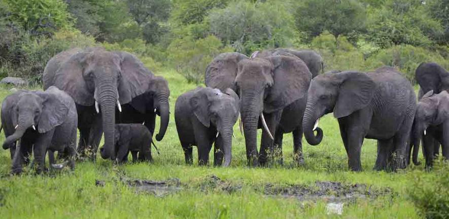 Elephants at Kruger National Park, South Africa