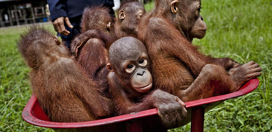 Baby orangutans in Central Kalimantan. Expansion of oil palm plantations is destroying their forest habitat.