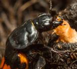 Sexton beetle and larva.