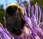 Bee Conquers Thistle