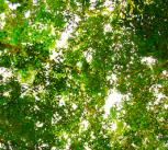 Amazon leaf canopy