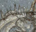 Completely enrolled specimen of the olenellid Mummaspis muralensis from the early Cambrian Mural Formation (Jasper National Park, Alberta). This represents the oldest direct evidence of enrolment in the fossil record of polymerid trilobites
