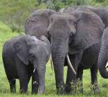 Elephants at Kruger National Park, South Africa
