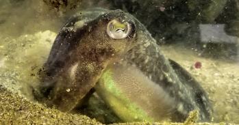 Cuttlefish. Image by Pauline Billard