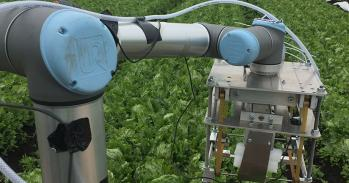 A robot arm picking lettuces