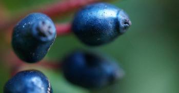 Viburnum tinus fruits