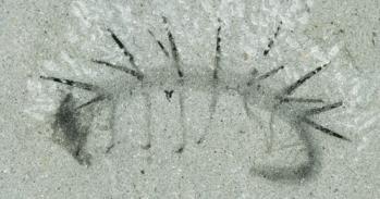 Fossil Hallucigenia sparsa from the Burgess Shale