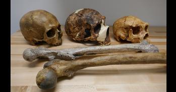 Human fossil skulls and thigh bones