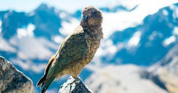 Wild Kea, New Zealand