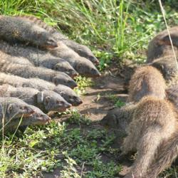 Mongoose groups fighting