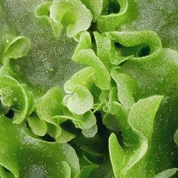 Liverwort (Pellia epiphylla)