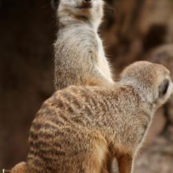 Meercats